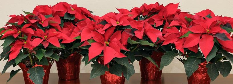 Christmas Poinsettias for Sale NOW!